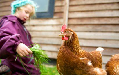 Les bons conseils pour élever des poules